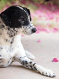 Dalmatian dog no purebred Royalty Free Stock Photos
