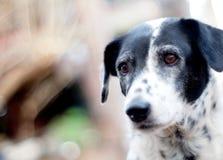 Dalmatian dog no purebred