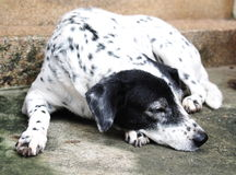 Dalmatian dog no purebred Royalty Free Stock Photos