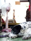 Dalmatian dog no purebred Royalty Free Stock Images