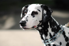 Dalmatian dog outdoors in a metal collar and a leash. Portrait in a sunny day Royalty Free Stock Photo
