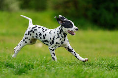 Dalmatian dog outdoors in summer. Adorable dalmatian dog outdoors in summer Stock Photos