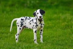 Dalmatian dog outdoors in summer. Adorable dalmatian dog outdoors in summer Royalty Free Stock Photography