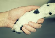 Dalmatian dog paw with a spot in the form of heart and human hand close up. Friendship, trust and love between dog and royalty free stock image