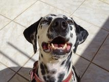 Dalmatian. Dog in peace Stock Images