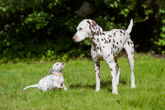Dalmatian dog playing with a puppy royalty free stock photo