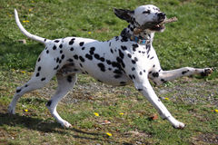 Dalmatian dog playing with stick Stock Photos