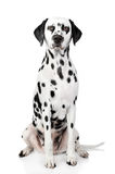 Dalmatian dog portrait Stock Images
