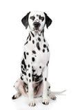 Dalmatian dog portrait stock images
