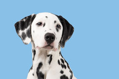 Dalmatian dog portrait on a blue background stock images