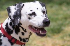 Dalmatian dog portrait. Close up Dalmatian dog portrait Stock Photos