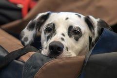 Dalmatian dog portrait close up on white back Royalty Free Stock Images