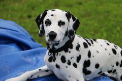 Dalmatian Dog portrait. Portrait from a dalmatian dog in the garden on the pool Royalty Free Stock Photos