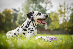 Dalmatian dog. Portrait of dalmatian dog lying in the grass royalty free stock photography