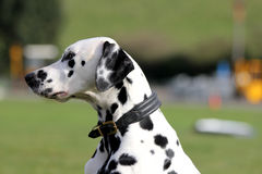Dalmatian dog, profile Royalty Free Stock Photography