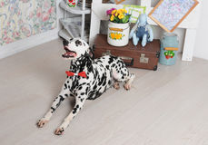 Dalmatian dog in a red bow tie in the bright Shabby interior. Retro objects, vintage decor Royalty Free Stock Images
