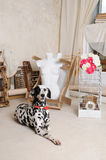Dalmatian dog in a red bow tie in the interior of the artistic workshop Royalty Free Stock Photos