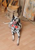 Dalmatian dog in a red bow tie in a rustic eco interior Stock Photo