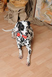 Dalmatian dog in a red bow tie in a rustic eco interior Royalty Free Stock Image