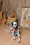 Dalmatian dog in a red bow tie in a rustic eco interior Stock Images