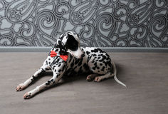 Dalmatian dog in a red bow tie in stylish gray-steel interior. Wallpapers with monograms. Dog dalmatian in a red bow tie in stylish gray-steel interior Royalty Free Stock Photography