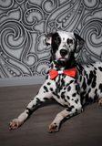 Dalmatian dog in a red bow tie in stylish gray-steel interior. Wallpapers with monograms. Dog dalmatian in a red bow tie in stylish gray-steel interior Royalty Free Stock Photo