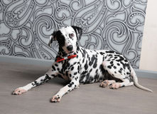 Dalmatian dog in a red bow tie in stylish gray-steel interior. Wallpapers with monograms. Dog dalmatian in a red bow tie in stylish gray-steel interior Royalty Free Stock Image
