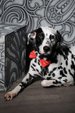 Dalmatian dog in a red bow tie in stylish gray-steel interior. Wallpapers with monograms. Dog dalmatian in a red bow tie in stylish gray-steel interior Royalty Free Stock Photos
