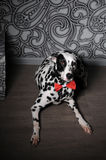 Dalmatian dog in a red bow tie in stylish gray-steel interior. Wallpapers with monograms. Dog dalmatian in a red bow tie in stylish gray-steel interior Royalty Free Stock Images