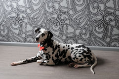 Dalmatian dog in a red bow tie in stylish gray-steel interior. Wallpapers with monograms. Dog dalmatian in a red bow tie in stylish gray-steel interior Stock Image