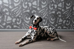 Dalmatian dog in a red bow tie in stylish gray-steel interior. Wallpapers with monograms. Dog dalmatian in a red bow tie in stylish gray-steel interior Stock Photo