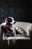 Dalmatian dog in a red bow tie on a white chair in a steel-gray interior. Hard studio lighting. Artistic portrait. Dog dalmatian in a red bow tie on a white royalty free stock photography