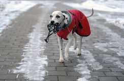 Dalmatian dog in red coat with muzzle in his mouth Stock Photo
