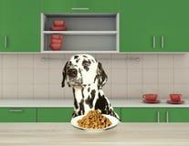 Free Dalmatian Dog Refuse To Eat Dry Food Stock Photos - 107373233