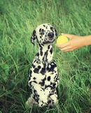 Dalmatian dog refuse to play with a ball. Dalmatian dog looking at the ball and refuse to play Stock Photo