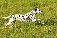 Dalmatian dog running across meadow. In summer Royalty Free Stock Image