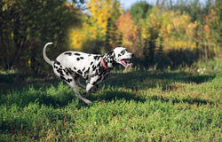 Dalmatian dog running back Royalty Free Stock Image