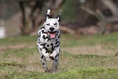 Dalmatian dog running Royalty Free Stock Photos
