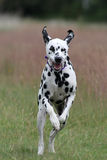 Dalmatian dog running. In field Royalty Free Stock Photography