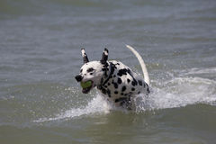 Dalmatian dog running in the sea Royalty Free Stock Photography