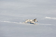 Dalmatian dog running in snow Royalty Free Stock Photos