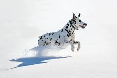 Dalmatian dog running in snow Stock Image
