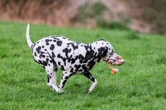 Dalmatian dog runs with a toy in the snout. On a meadow Stock Photos