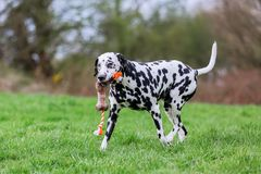 Dalmatian dog runs with a toy in the snout. On a meadow Stock Photo