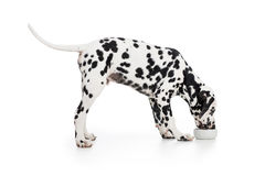 Dalmatian dog side view eating from bowl royalty free stock photos