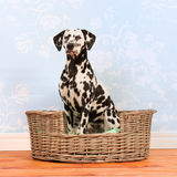 Dalmatian dog sitting in basket Stock Photo