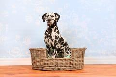 Dalmatian dog sitting in basket Royalty Free Stock Image