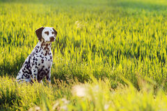 Dalmatian Dog Sitting In Meadow Stock Photo