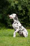 Dalmatian dog sitting outdoors Stock Images