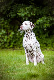 Dalmatian dog sitting outdoors Royalty Free Stock Photos